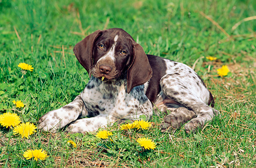PUP 19 CE0011 01 © Kimball Stock German Shorthaired Pointer Puppy Laying On Grass By Dandelions