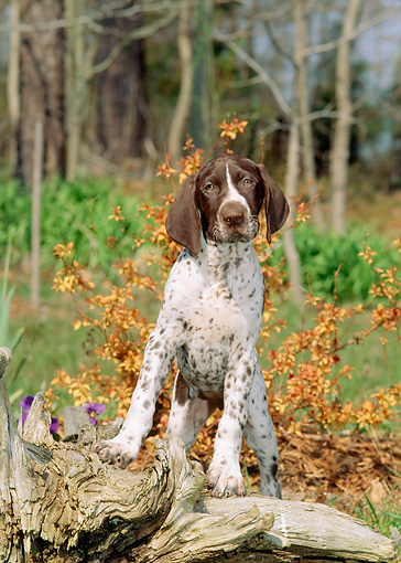 PUP 19 CE0012 01 © Kimball Stock German Shorthaired Pointer Puppy Climbing On Log By Shrub Trees