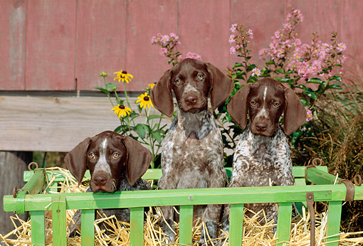 PUP 19 CE0015 01 © Kimball Stock Three German Shorthaired Pointer Puppies Sitting In Cart By Red Barn And Flowers