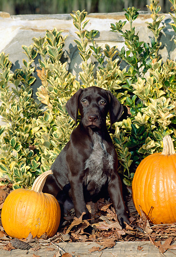 PUP 19 CE0017 01 © Kimball Stock German Shorthaired Pointer Puppy Sitting Between Pumpkins By Shrubs