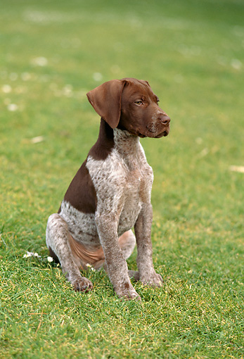 PUP 19 RC0001 01 © Kimball Stock Portrait Of German Shorthaired Pointer Puppy Sitting On Grass