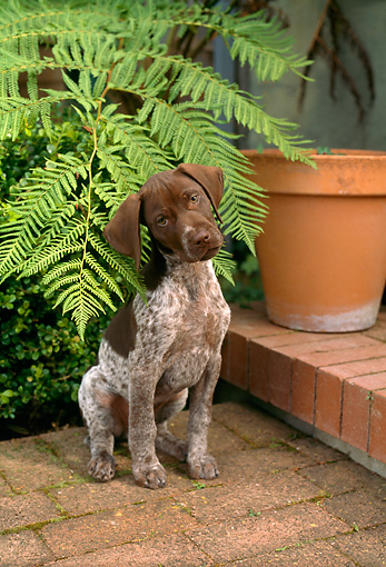 PUP 19 RC0002 01 © Kimball Stock Portrait Of German Shorthaired Pointer Puppy Sitting On Brick Patio By Flower Pot And Fern