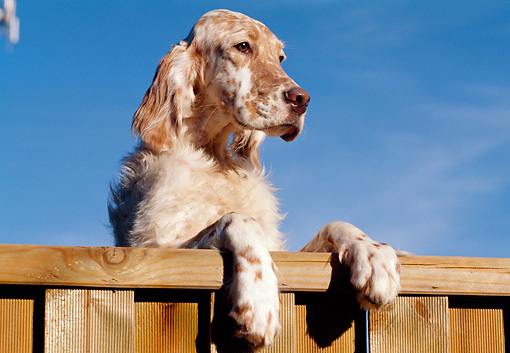 PUP 20 CB0002 01 © Kimball Stock English Setter Puppy Leaning On Wooden Railing Against Blue Sky