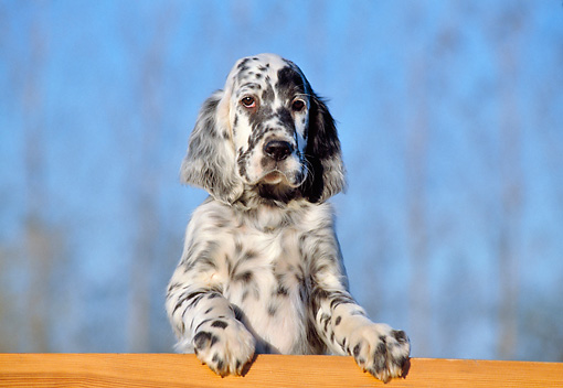 PUP 20 CB0003 01 © Kimball Stock English Setter Puppy Leaning On Wooden Railing