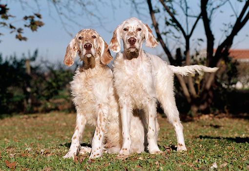 PUP 20 CB0005 01 © Kimball Stock Two English Setter Puppies On Lawn