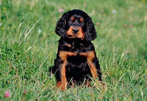 PUP 20 CB0006 01 © Kimball Stock Gordon Setter Puppy Sitting In Grass