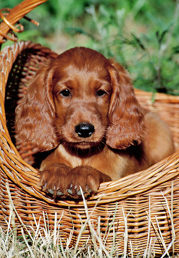 PUP 20 CB0007 01 © Kimball Stock Irish Setter Puppy Laying In Wicker Basket