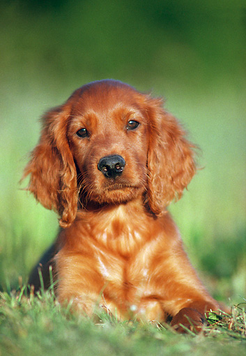 PUP 20 GR0005 01 © Kimball Stock Irish Setter Puppy Laying On Grass