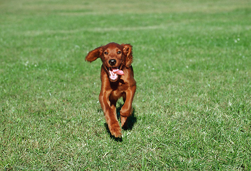PUP 20 GR0007 01 © Kimball Stock Irish Setter Puppy Running On Grass Field