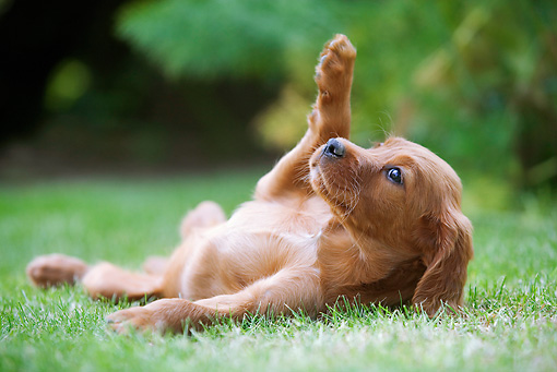 PUP 20 JE0001 01 © Kimball Stock Irish Setter Puppy Rolling On Grass