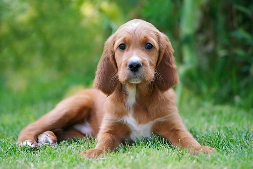 PUP 20 JE0002 01 © Kimball Stock Irish Setter Puppy Laying On Grass