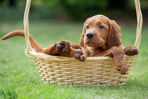 PUP 20 JE0005 01 © Kimball Stock Irish Setter Puppy Laying In Basket On Grass