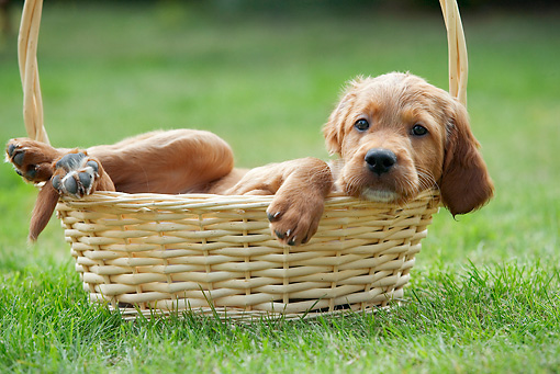 PUP 20 JE0006 01 © Kimball Stock Irish Setter Puppy Laying In Basket On Grass