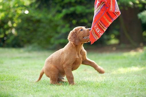PUP 20 JE0007 01 © Kimball Stock Irish Setter Puppy Playing With Cloth On Grass