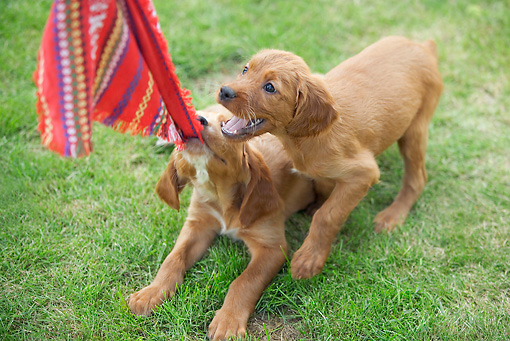 PUP 20 JE0009 01 © Kimball Stock Irish Setter Puppies Playing With Cloth On Grass