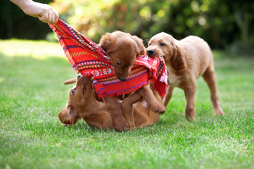 PUP 20 JE0010 01 © Kimball Stock Irish Setter Puppies Playing With Cloth On Grass