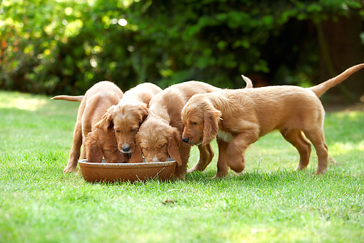 PUP 20 JE0012 01 © Kimball Stock Irish Setter Puppies Drinking From Bowl On Grass