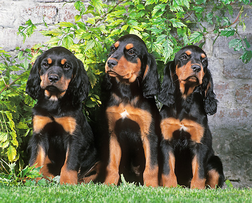 PUP 20 JE0013 01 © Kimball Stock Three Gordon Setter Puppies Sitting On Grass By Brick Wall