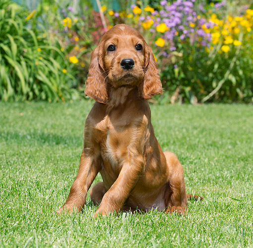 PUP 20 JE0014 01 © Kimball Stock Irish Setter Puppy Sitting In Grass By Flowers