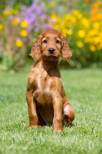 PUP 20 JE0015 01 © Kimball Stock Irish Setter Puppy Sitting In Grass By Flowers