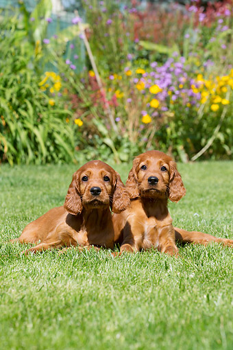 PUP 20 JE0016 01 © Kimball Stock Irish Setter Puppies Laying In Grass By Flowers