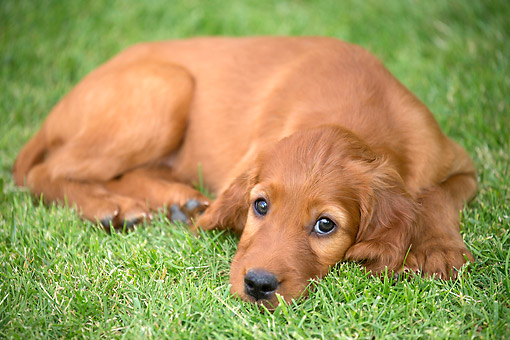 PUP 20 JE0018 01 © Kimball Stock Irish Setter Puppy Laying In Grass