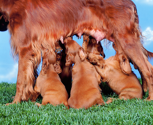 PUP 20 RK0002 01 © Kimball Stock Irish Setter Mom Nursing Puppies On Grass