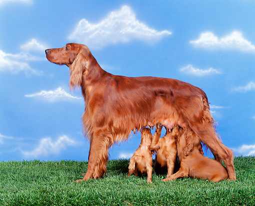 PUP 20 RK0003 05 © Kimball Stock Irish Setter Mother Nursing Puppies