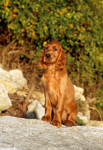 PUP 20 CE0002 01 © Kimball Stock Irish Setter Puppy Sitting On Boulder By Shrubs