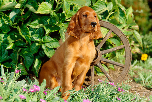 PUP 20 CE0003 01 © Kimball Stock Irish Setter Puppy Sitting By Foliage And Wagon Wheel