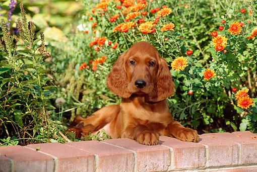 PUP 20 CE0006 01 © Kimball Stock Irish Setter Puppy Laying On Brick Wall By Orange Flowers