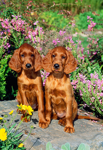 PUP 20 CE0008 01 © Kimball Stock Two Irish Setter Puppies Sitting On Boulder By Flowers