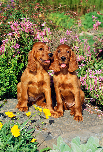 PUP 20 CE0009 01 © Kimball Stock Two Irish Setter Puppies Sitting On Boulder By Flowers