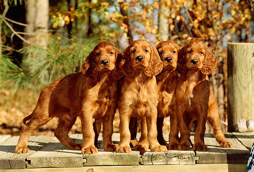 PUP 20 CE0010 01 © Kimball Stock Four Irish Setter Puppies Standing On Dock By Trees