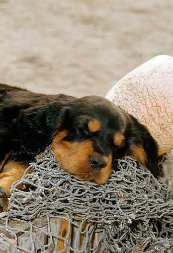 PUP 20 CE0011 01 © Kimball Stock Shoulder Shot Of Gordon Setter Puppy Sleeping On Fishing Net