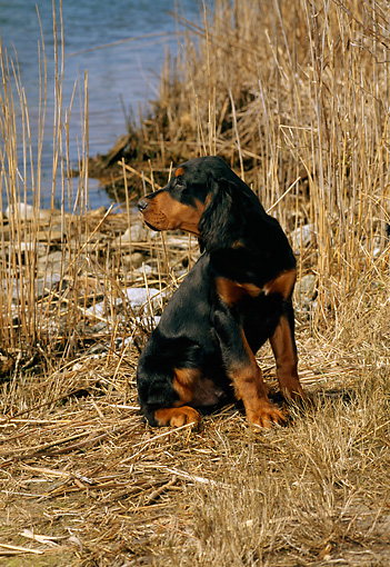 PUP 20 CE0012 01 © Kimball Stock Gordon Setter Puppy Sitting By Reeds Lake