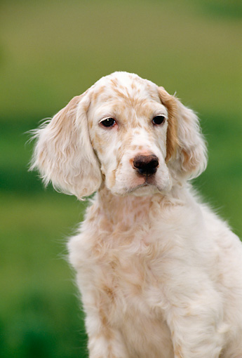 PUP 20 CE0014 01 © Kimball Stock Shoulder Shot Of English Setter Puppy Sitting On Grass