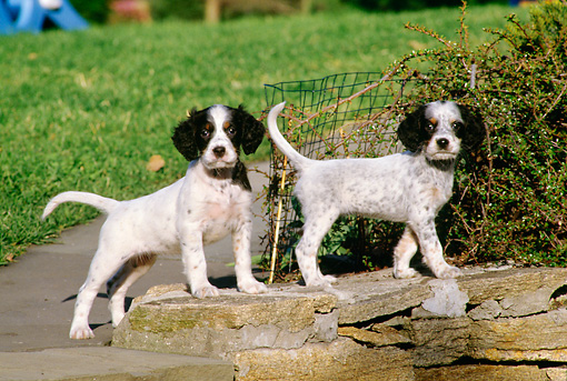 PUP 20 DS0001 01 © Kimball Stock Two English Setter Puppies Standing On Rocks By Grass And Shrubs