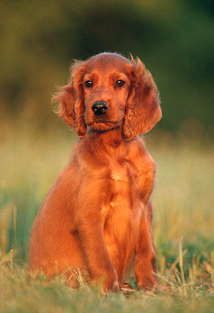 PUP 20 GR0002 04 © Kimball Stock Irish Setter Puppy Sitting On Grass Facing Camera
