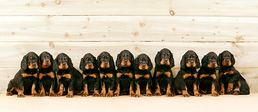 PUP 20 JD0001 01 © Kimball Stock Gordon Setter Puppies Sitting Against Wooden Wall