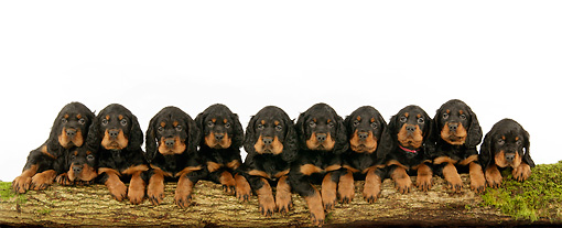 PUP 20 JD0002 01 © Kimball Stock Gordon Setter Puppies Laying Against Log