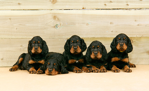 PUP 20 JD0003 01 © Kimball Stock Gordon Setter Puppies Laying By Wooden Wall