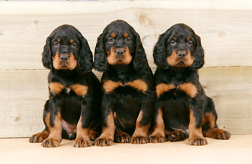 PUP 20 JD0004 01 © Kimball Stock Gordon Setter Puppies Sitting Against Wooden Wall