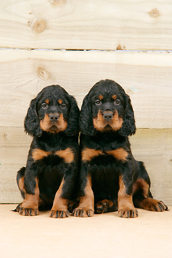 PUP 20 JD0005 01 © Kimball Stock Gordon Setter Puppies Sitting Against Wooden Wall