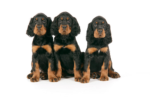 PUP 20 JD0006 01 © Kimball Stock Gordon Setter Puppies Sitting On White Seamless Studio