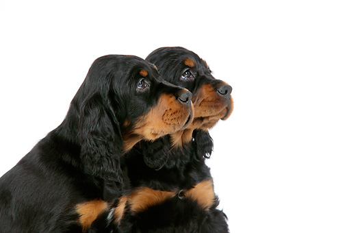 PUP 20 JD0008 01 © Kimball Stock Profile Shoulder Shot Of Gordon Setter Puppies Sitting On White Seamless Studio