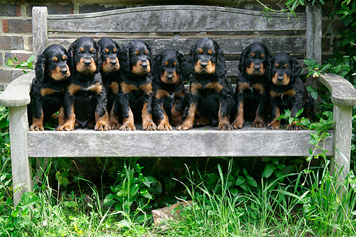 PUP 20 JD0010 01 © Kimball Stock Gordon Setter Puppies Sitting On Wooden Bench