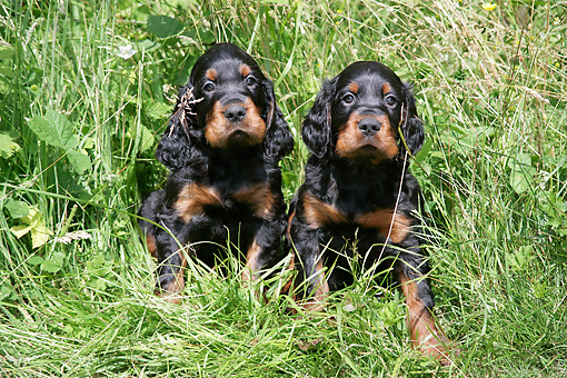 PUP 20 JD0011 01 © Kimball Stock Gordon Setter Puppies Sitting Among Foliage
