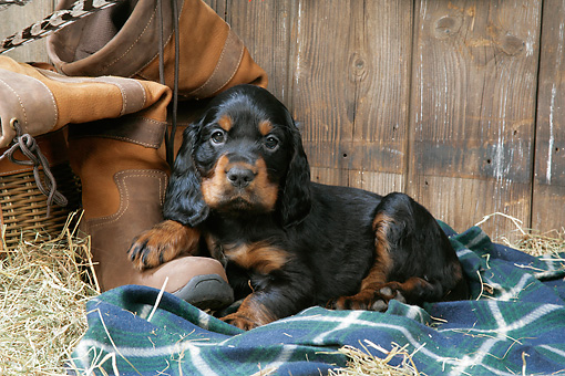 PUP 20 JD0015 01 © Kimball Stock Gordon Setter Puppy Laying On Blanket By Boot And Hay