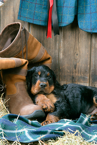 PUP 20 JD0016 01 © Kimball Stock Gordon Setter Puppy Laying On Blanket By Boot And Hay